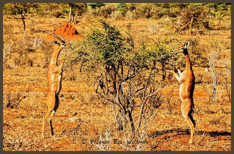 Gerunuk, Male and Female Feeding, Samburu.