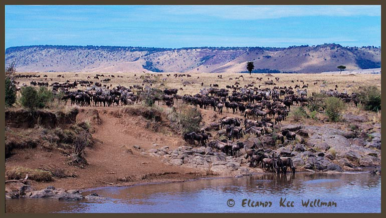 Wildebeast at Mara River