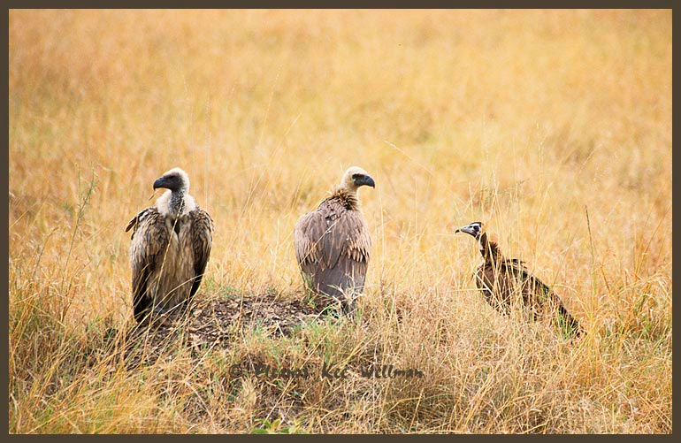 African White-backed and Hooded Vultures