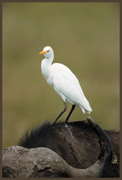 Cattle Egret on Water Buffalo.