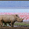 White Rhinocerous with Flamingos, Lake Nakuru, Kenya.