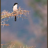 Long-tailed Fiscal Shrike