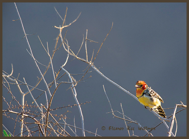Red & Yellow Barbet