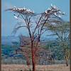 African White Pelicans Roosting, Lake Nakuru