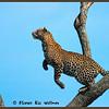 Leopard Leaping, Kenya.