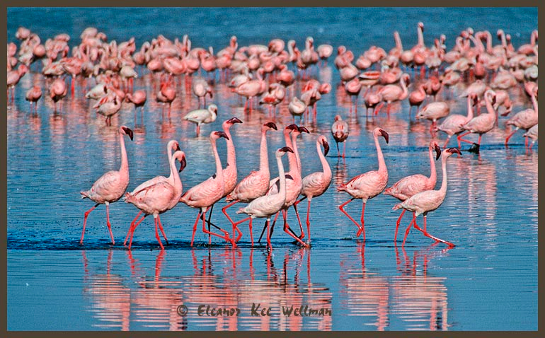 Lesser Flamingos Marching.