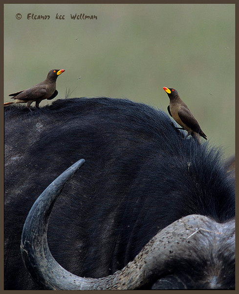 Yellow-billed Oxpeakers on Water Buffalo.