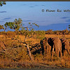 Bull Elephants Consuming Acacia Tree.