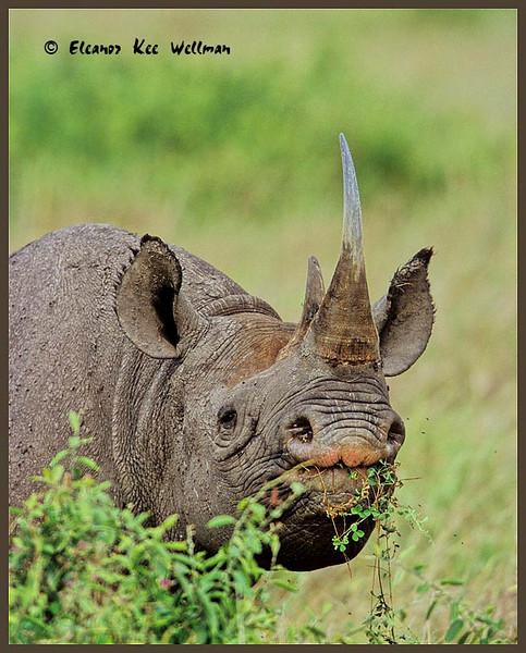 Black Rhinocerous Eating, Maasai Mara, Kenya.
