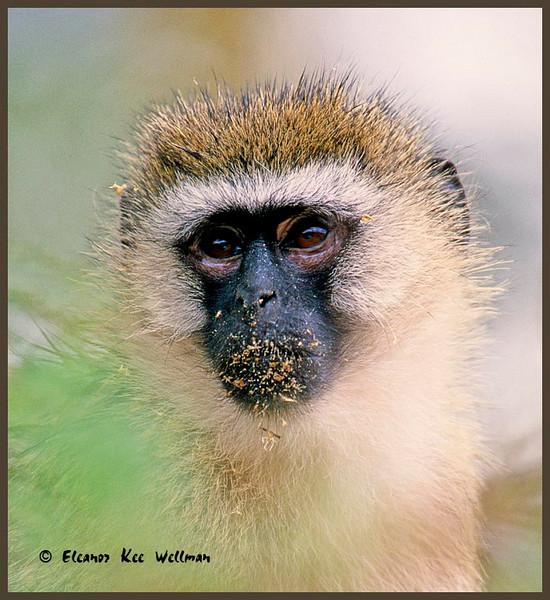 Vervet Monkey, Kenya