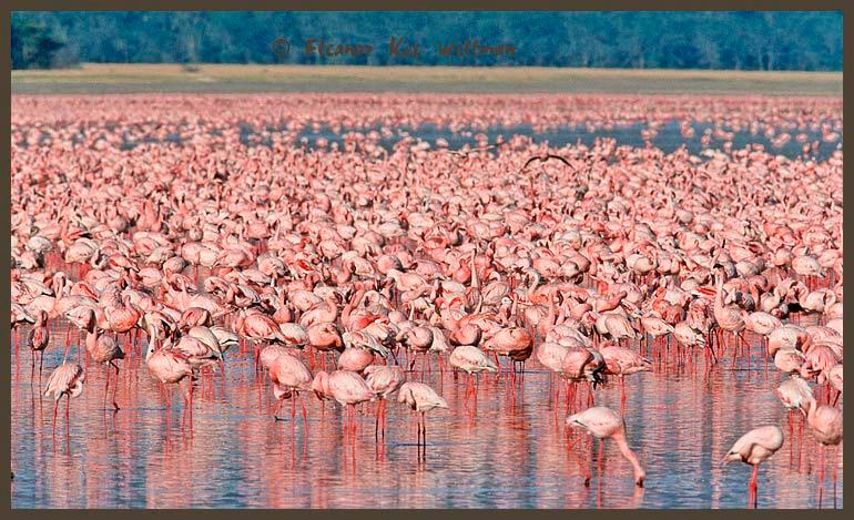 Thousands of Lesser Flamingos