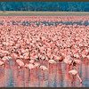 Thousands of Lesser Flamingos