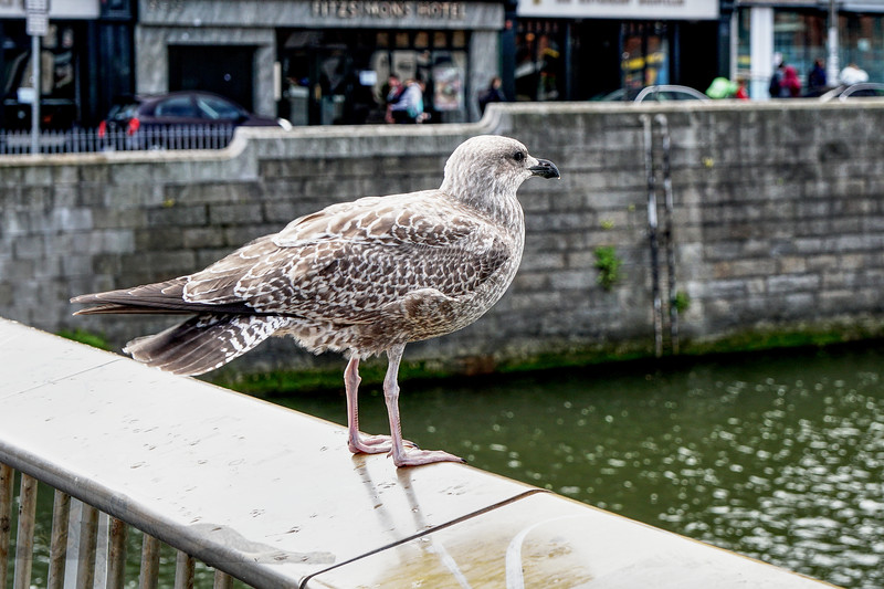Young Seagull in Dublin