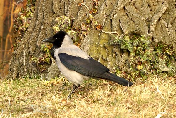Hooded Crow - Vienna