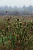 A Field in Mist