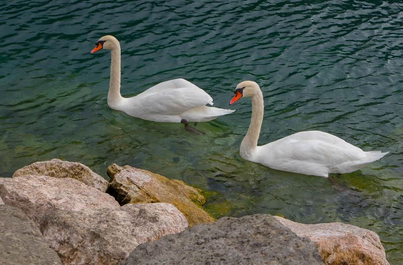 Swans, Torbole, Italy