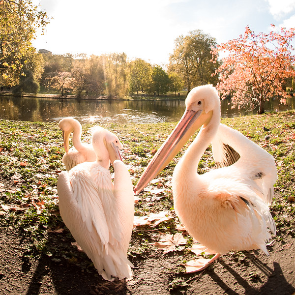PELICANS @ ST JAMES'S PARK