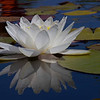 Water Lily on Glass - By Janice Johnson<br /> This image was taken at the San Juan Capistrano Mission on a very hot still day.  The water in the fountain was so smooth it appeared to be glass.