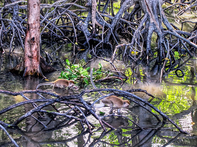 Life in the Mangroves
