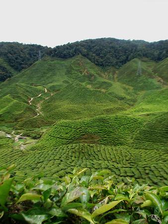 Tea in the Cameron Highlands