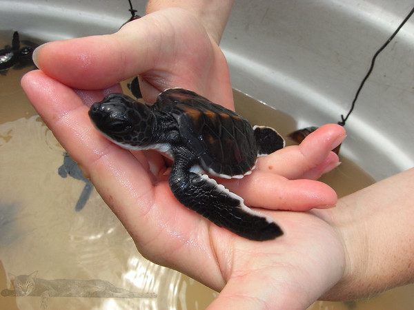 Baby Turtle Waiting Release