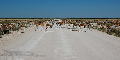 Gazelle Crossing