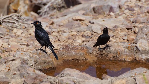 Black Birds with Orange Eyes