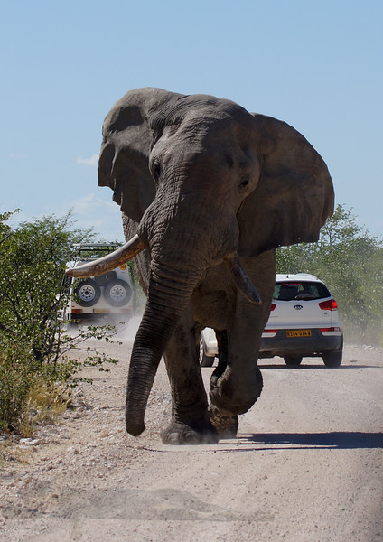 Elephant in Musth or must blocking cars in Etosha National Park