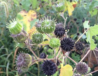 Abutilon: Velvet Leaf