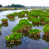 The Celery Fields--flooded to create artificial wetlands popular with tropical birds and birders.