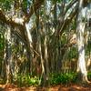 """Banyan tree--a kind of """"strangler fig"""""""