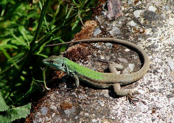 Lizard in Sicily