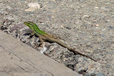 Green Lizard in Sicily