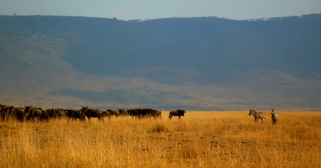 Zebra & Wildebeest, Ngorongoro Crater