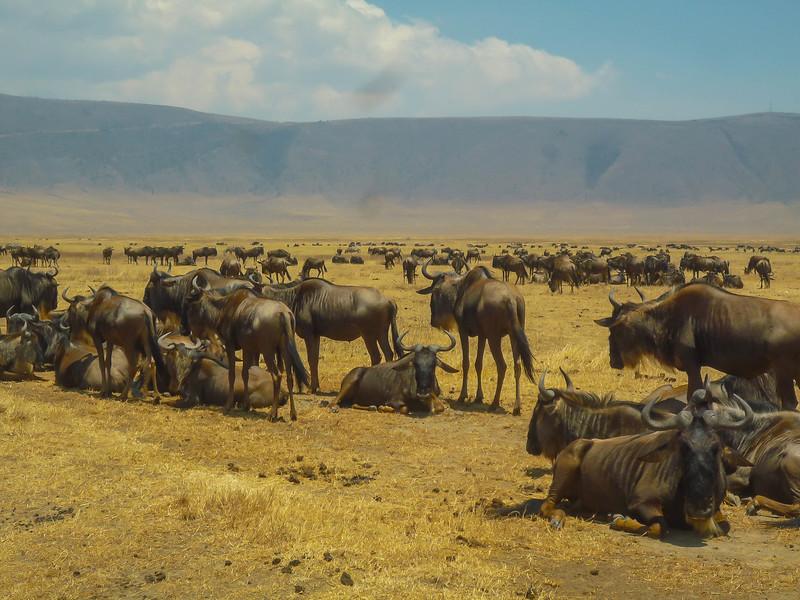 Wildebeest, Ngorongoro Crater