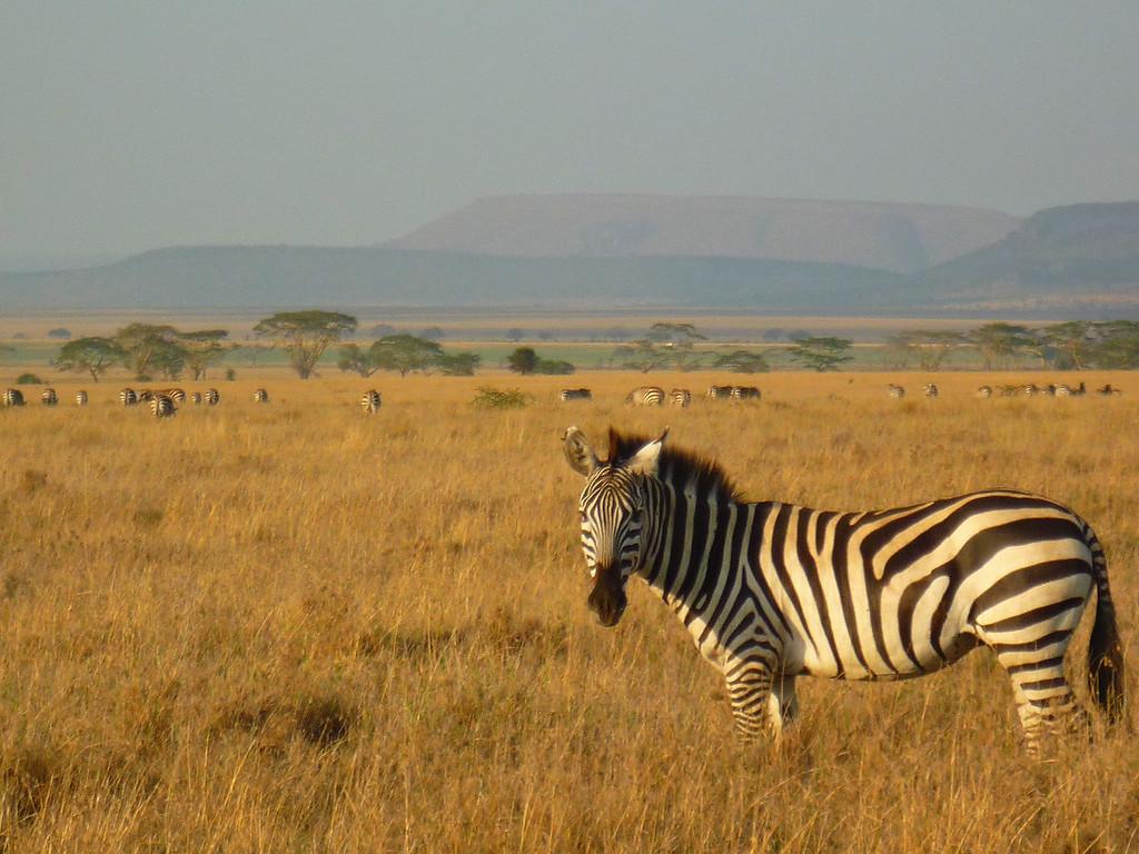 Ngorongoro Crater Zebra