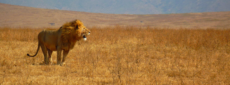 Lion, Ngorongoro Crater