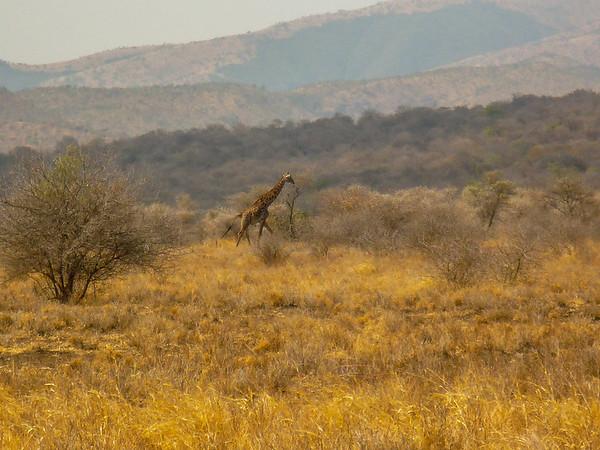 Giraffe, Ngorongoro Crater