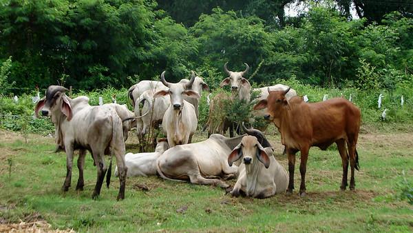 Cattle in Thailand