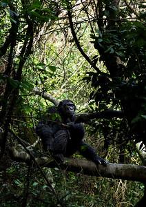 Chimpanzee in a Forest in Uganda