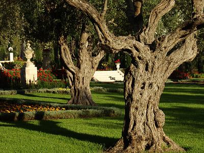 Olive trees, Bahjí, Israel