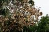 Hibiscus, Hawaiian