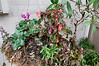 Cyclamen, Dianthus, Begonia in a hanging basket (covered), Tibouchina in background