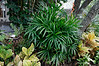 Raphis Palm (center), Calibrochoa (in elevated pot), crotons, and Schefflera in background