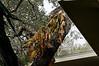 Pothos on a Live Oak