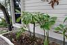 Plumeria (covered)