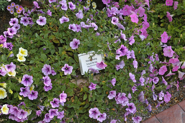 Petunia (spreading) Fortunia Pink Vein