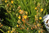 Bulbine Orange close