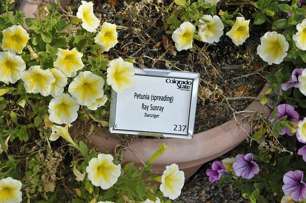 Petunia (spreading) Ray Sunray