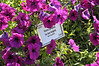 Petunia (Spreading) Sun Spun Burgandy